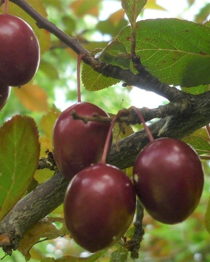 Prunus d. 'Kroos Pearl Beauty' | rode kroos | Wortelgoed