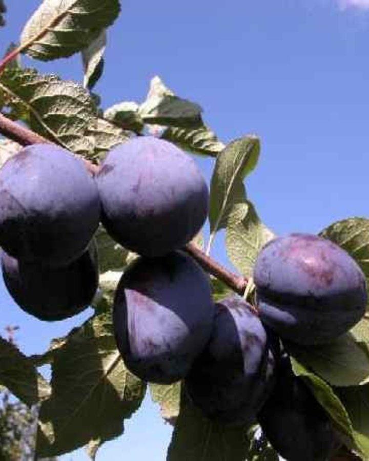 Prunus d. 'President' / Blauwe Pruim