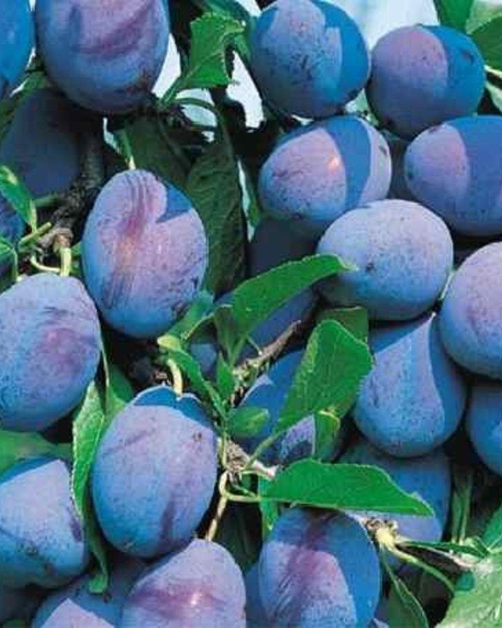 Prunus d. 'Wangenh. Fruehzwetsche' | Zoete kwets | Wortelgoed