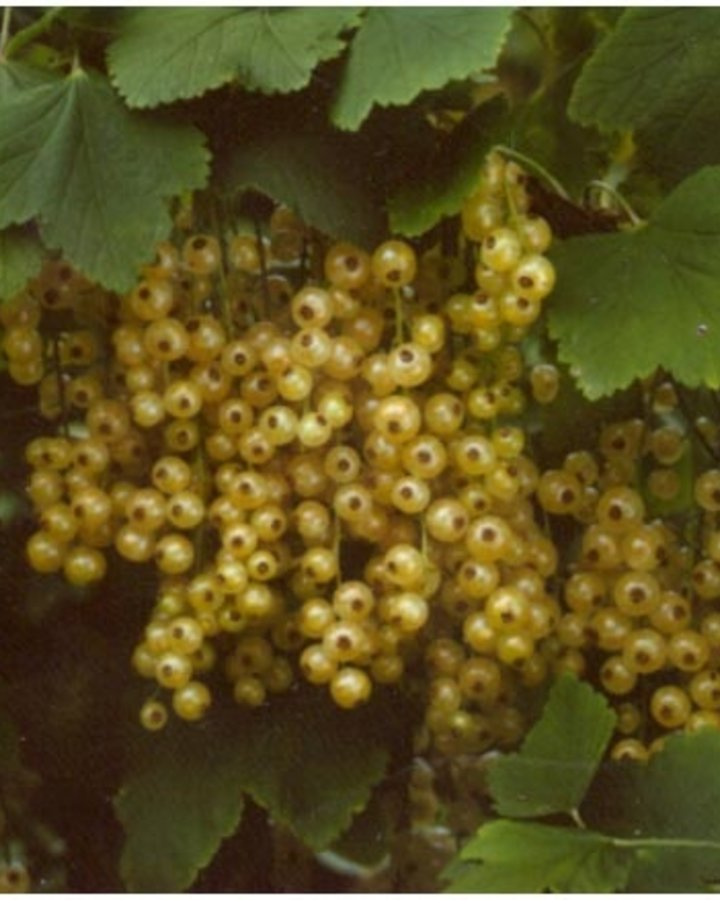 Ribes rub. 'Blanka' / Witte bes