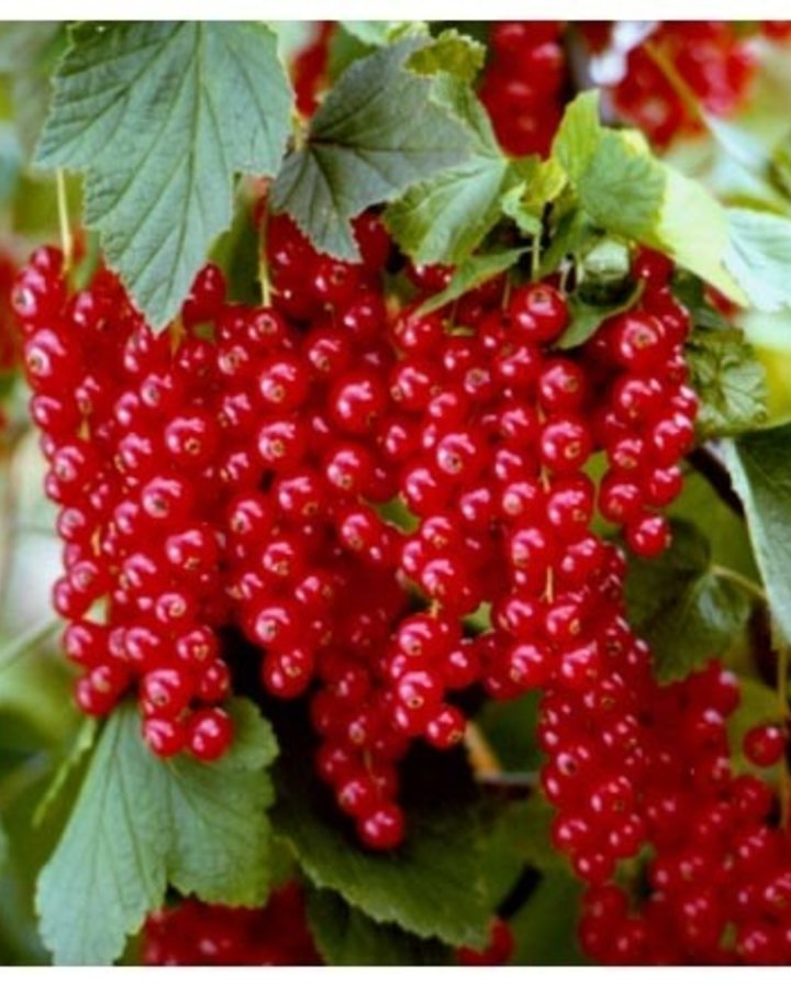 Ribes r. 'Red Poll'   Rode bes    Kleinfruit