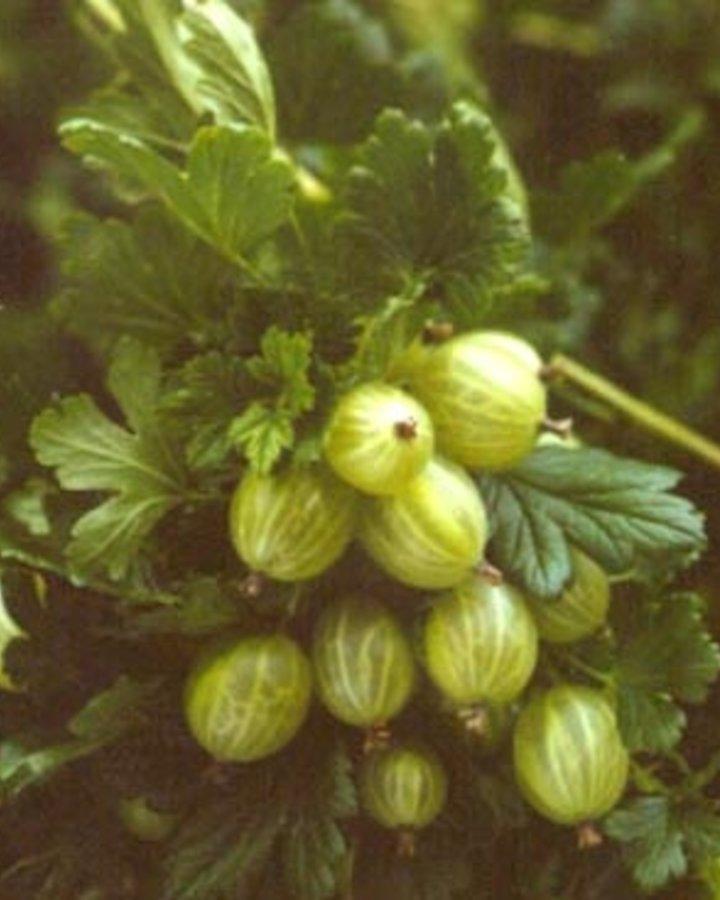 Ribes u.-c. 'Hinnonmaki Grün'/ Kruisbes