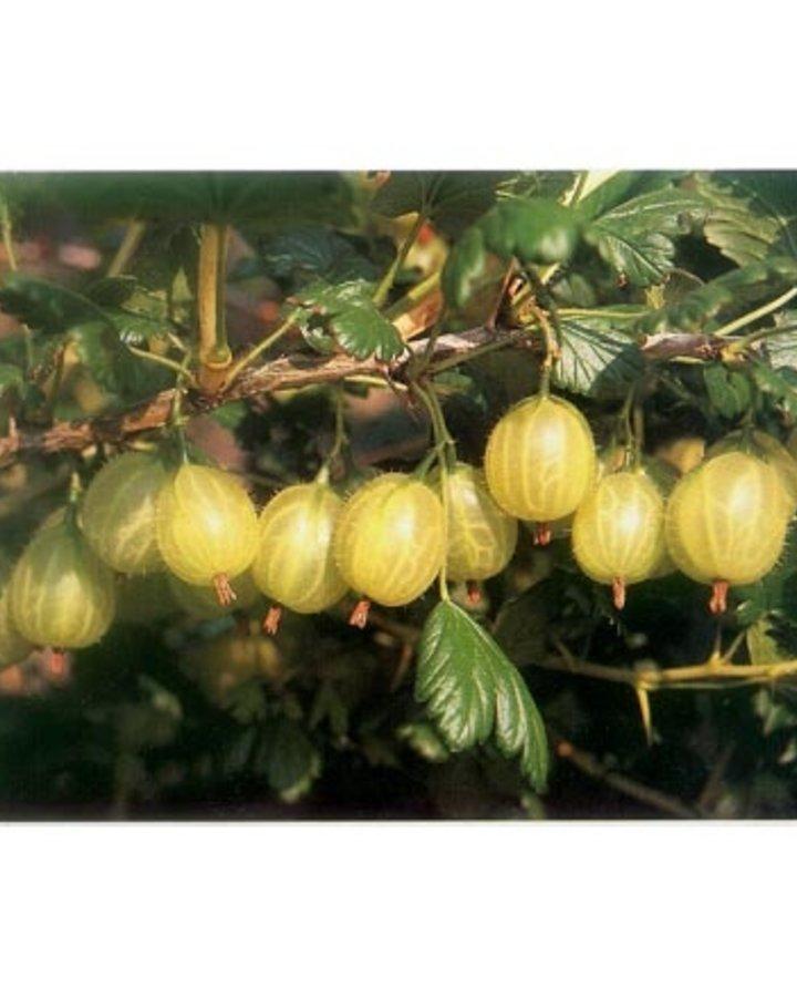 Ribes u.-c. 'Invicta' | Kruisbes Resistent  | Kleinfruit