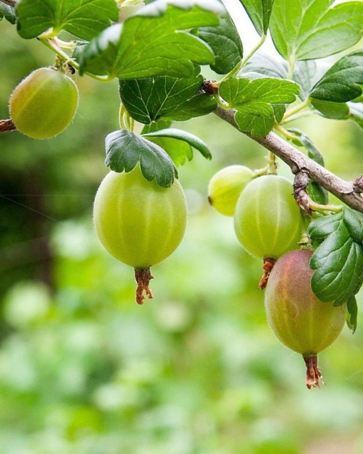 Ribes u-c 'Tatjana'   Witte doornloze kruisbes    Kleinfruit