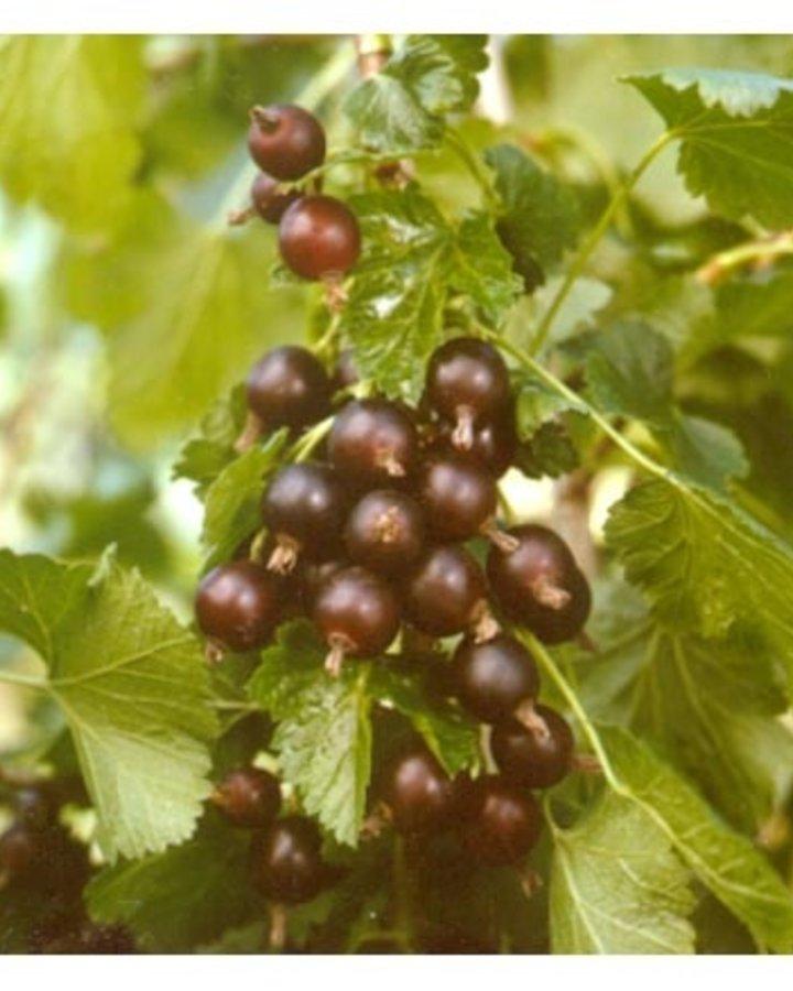 Ribes 'Jostaberry' | kruising zwartebes X kruisbes  | Kleinfruit