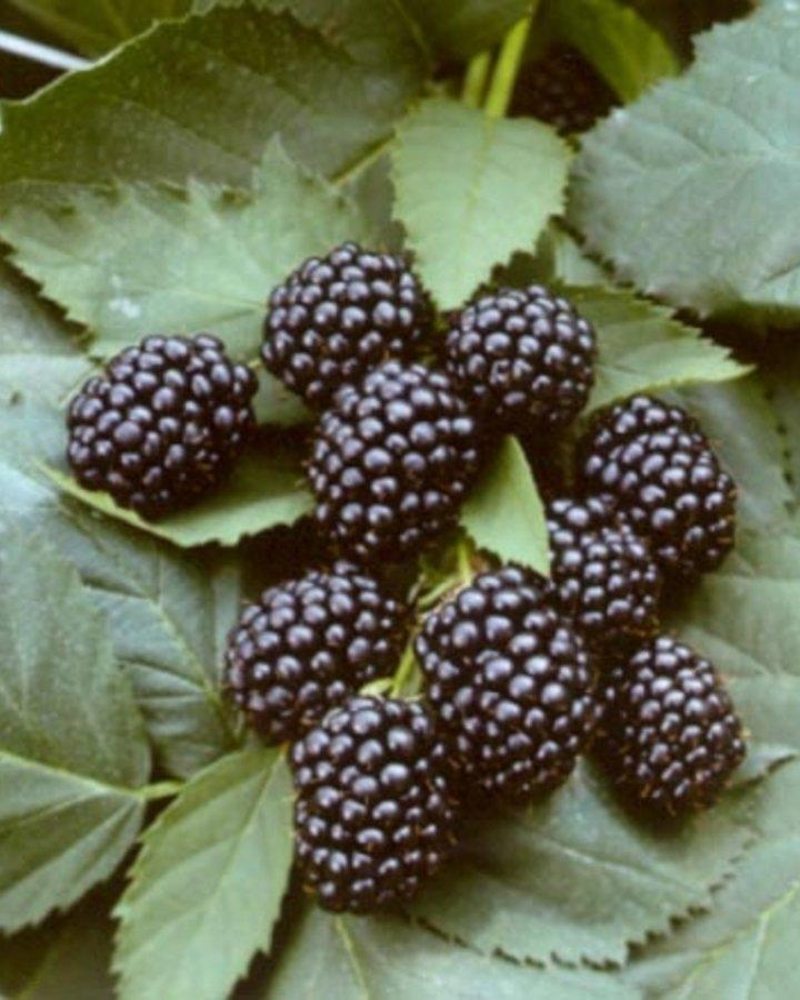 Rubus frut. 'Black Satin' / Doornloze braam