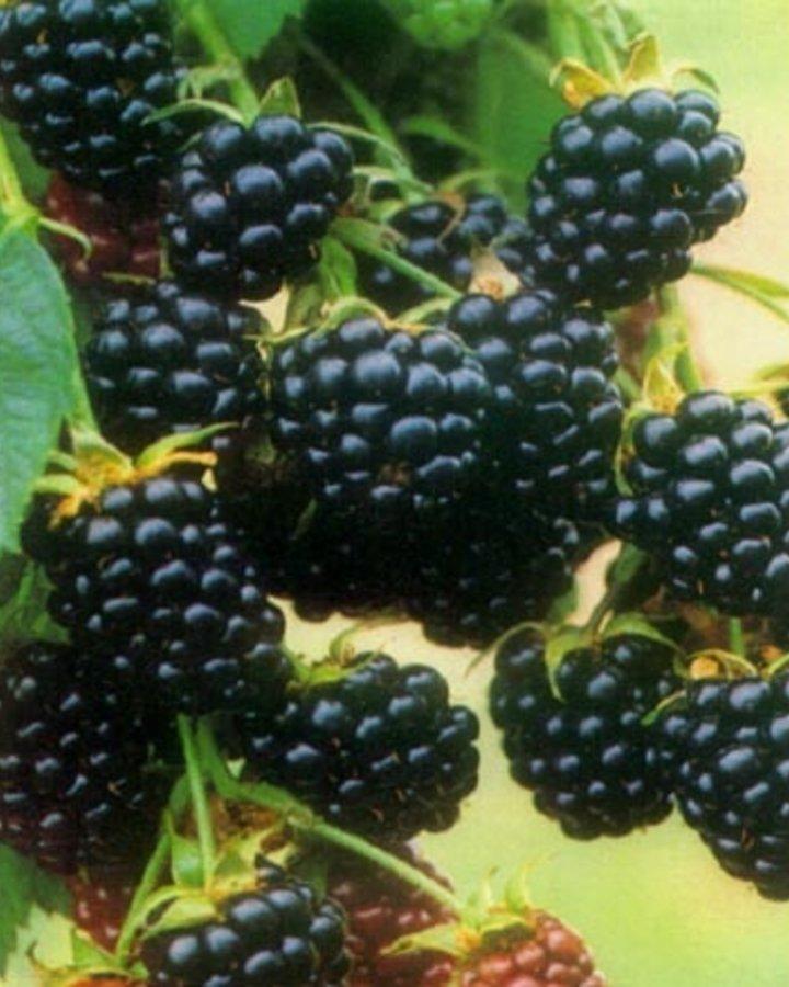 Rubus frut. 'Chester Thornless'   Doornloze braam    Kleinfruit