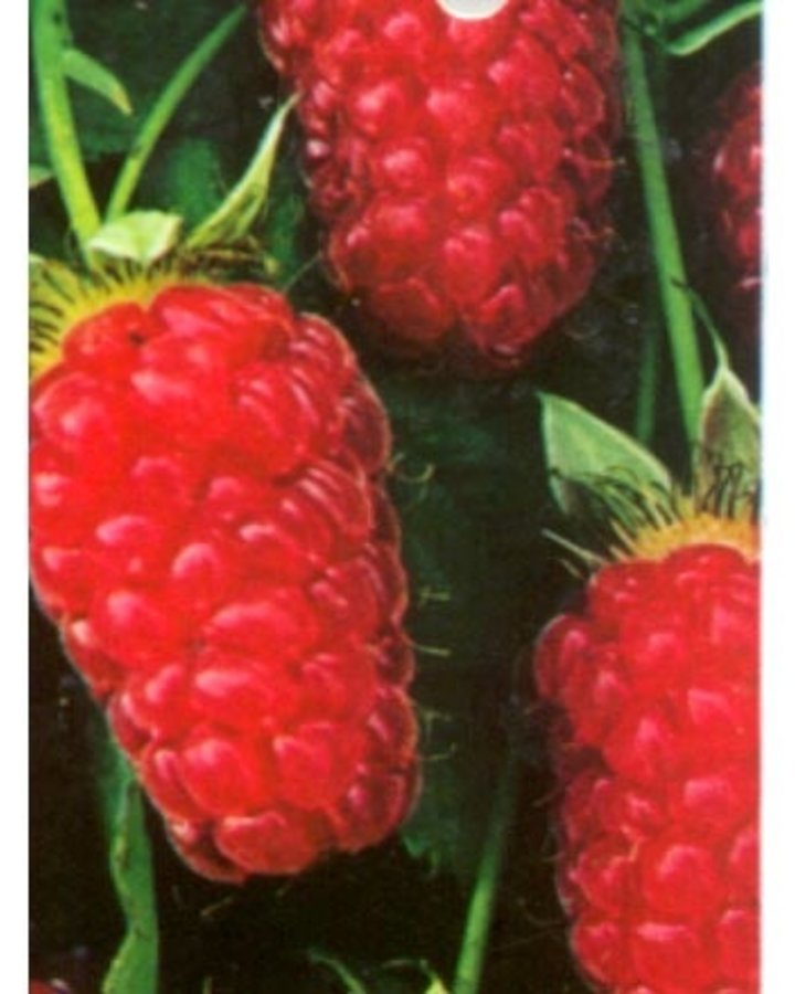 Rubus 'Loganberry' / Kruising braam x framboos