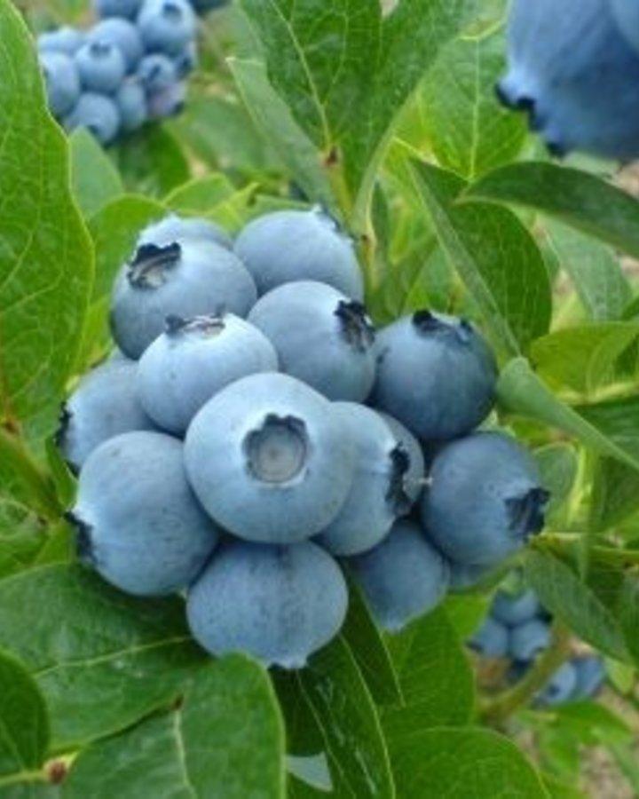 Vaccinium cor. 'Bluegold'    Amerikaanse bosbes    Kleinfruit