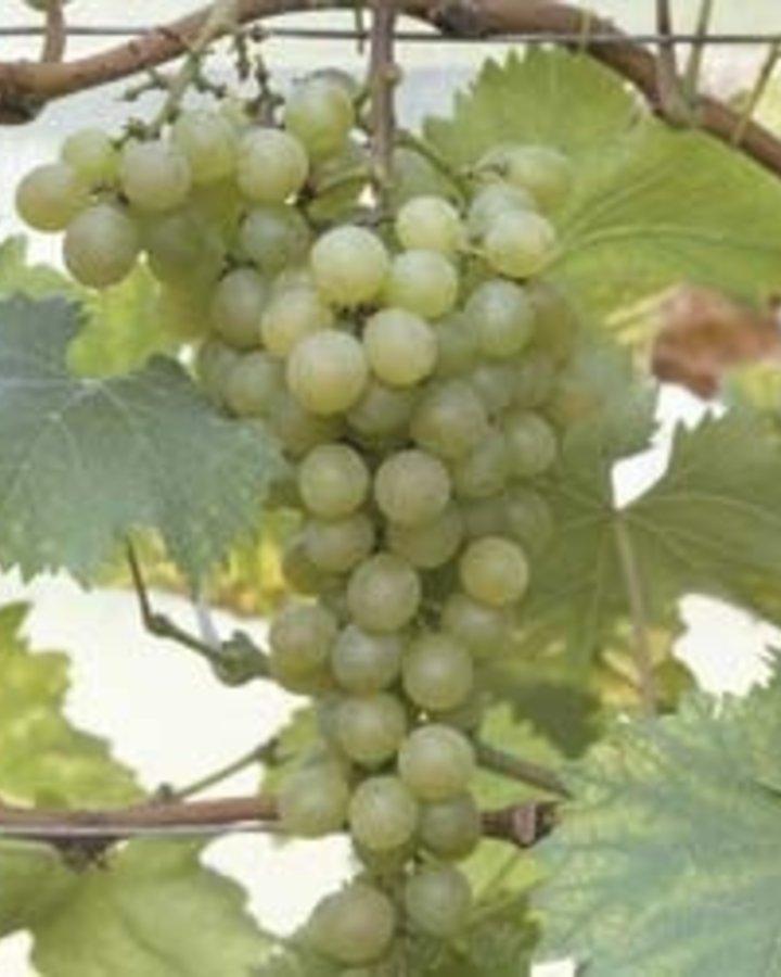 Vitis 'Phoenix'   Witte wijndruif    Kleinfruit