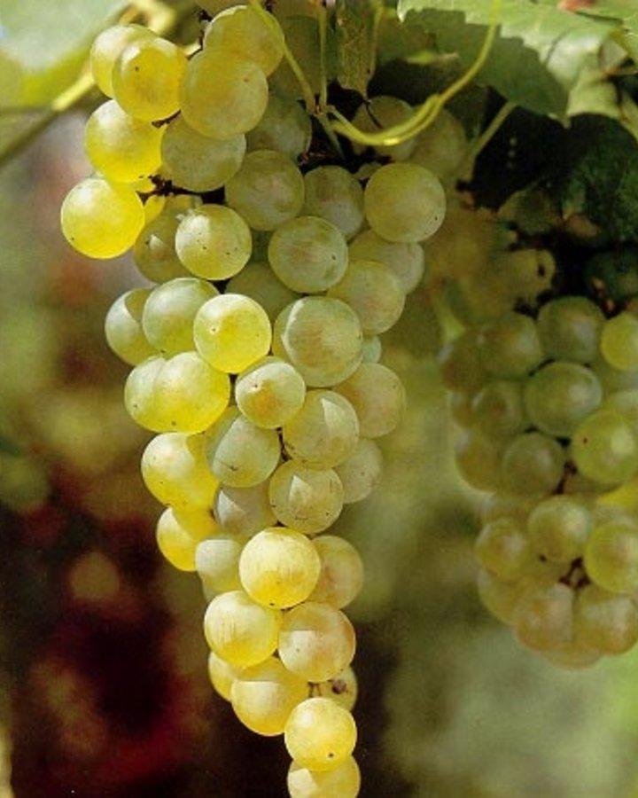 Vitis 'Vroege van der Laan' | Witte buitendruif  | Kleinfruit