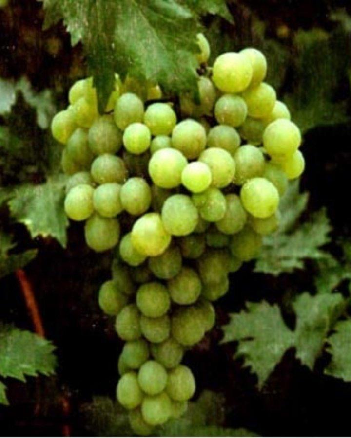 Vitis 'Witte van Tol' / Witte druif