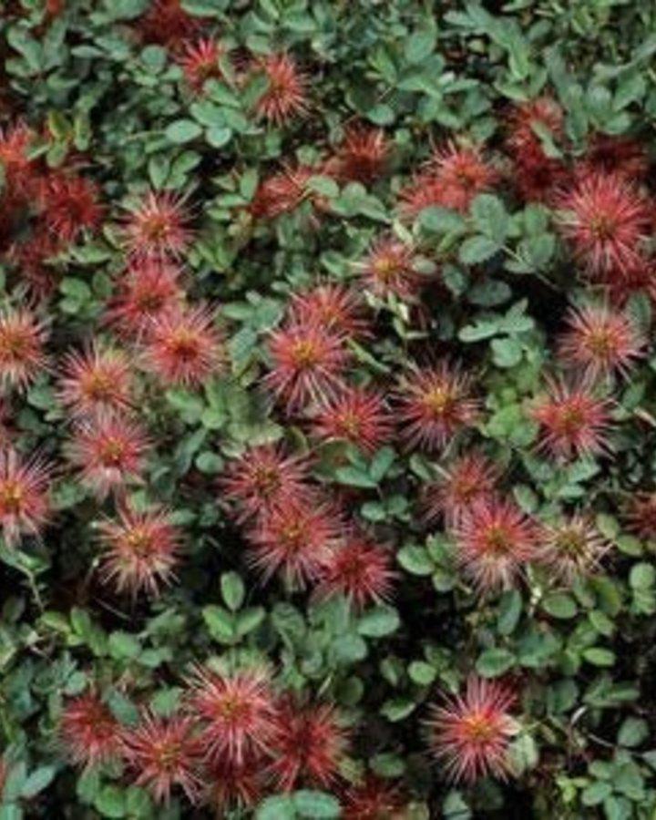 Acaena microphylla / Stekelnootje