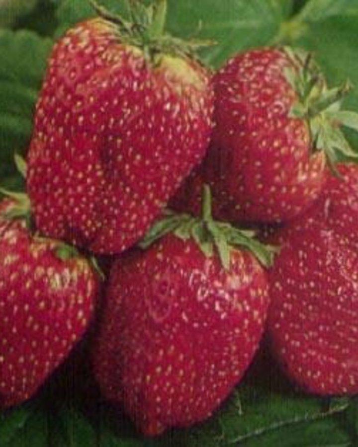 Fragaria 'Korona' | Aardbei  | Kleinfruit