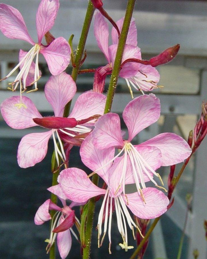 Gaura lindh. 'Siskiyou Pink'   Prachtkaars   Vaste planten