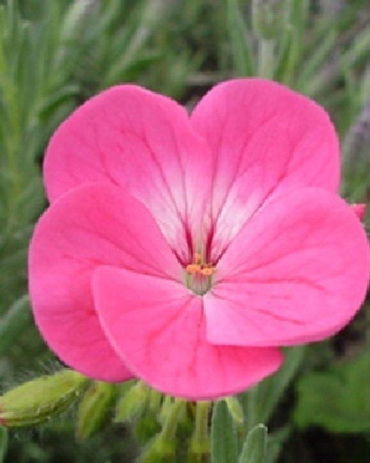 Geranium endressii 'Wargrave Pink' / Ooievaarsbek
