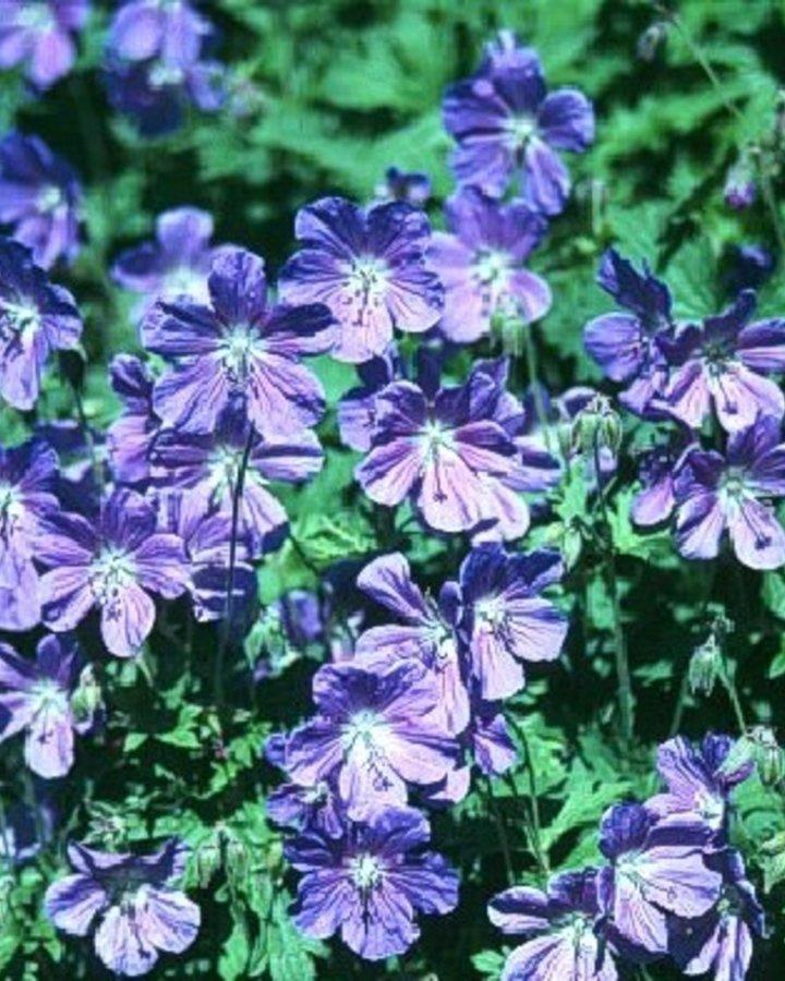 Geranium himalayense / Ooievaarsbek