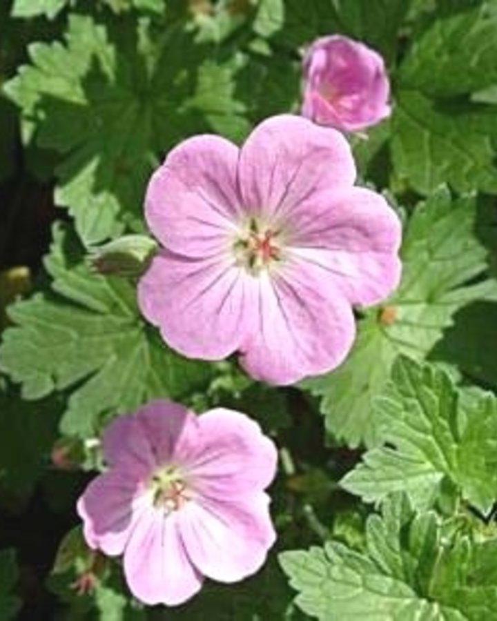 Geranium rivers. 'Mavis Simpson'   Ooievaarsbek   Vaste planten