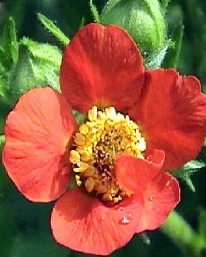 Geum chiloense 'Mrs Bradshaw' | Nagelkruid | Vaste planten