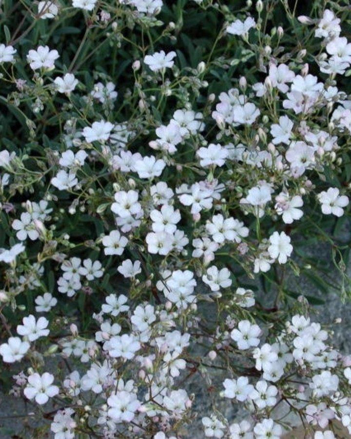 Gypsophila repens 'Alba' / Gipskruid
