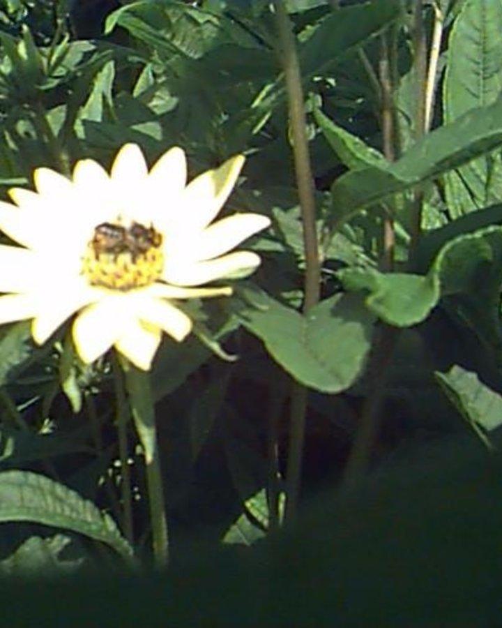 Helianthus 'Lemon Queen' | Zonnebloem | Vaste plant