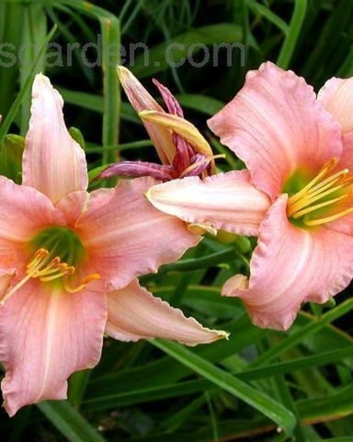 Hemerocallis 'Luxury Lace' | Daglelie | Vaste plant