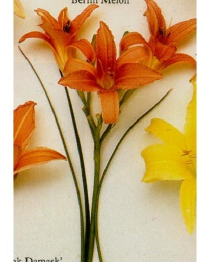 Hemerocallis 'Pink Damask' | Daglelie | Vaste plant