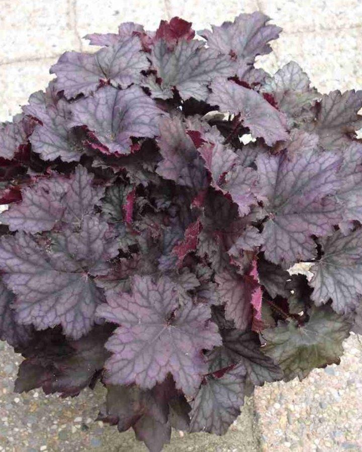 Heuchera sang. 'Frosted Violet' | Purperklokje | Vaste plant