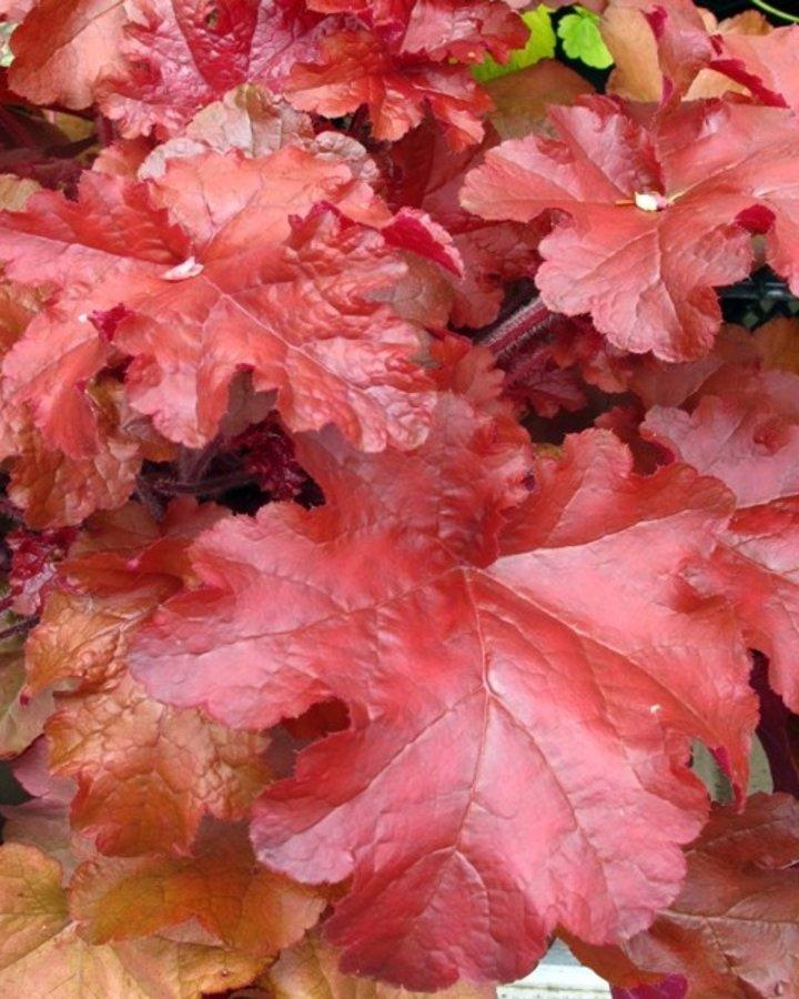 Heuchera 'Red Sea' | purperklokje | Vaste plant