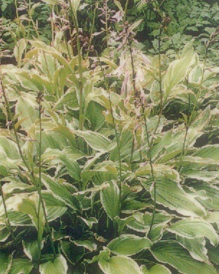 Hosta undulata 'Albomarginata'   Hartlelie   Vaste plant