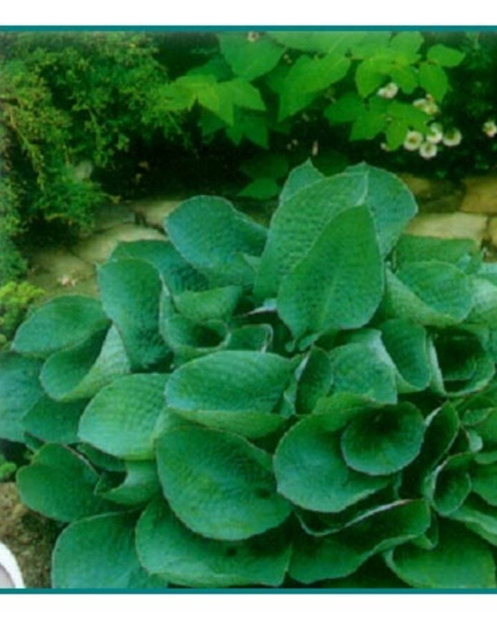 Hosta 'Big Daddy'   Hartlelie   Vaste plant