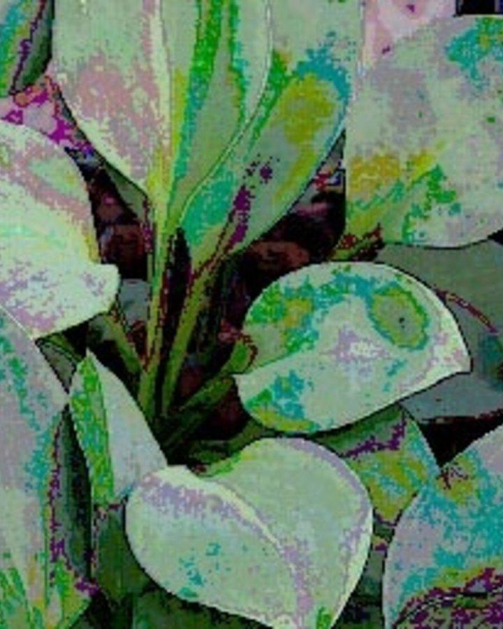 Hosta 'Blue Cadet' | Hartlelie | Vaste plant