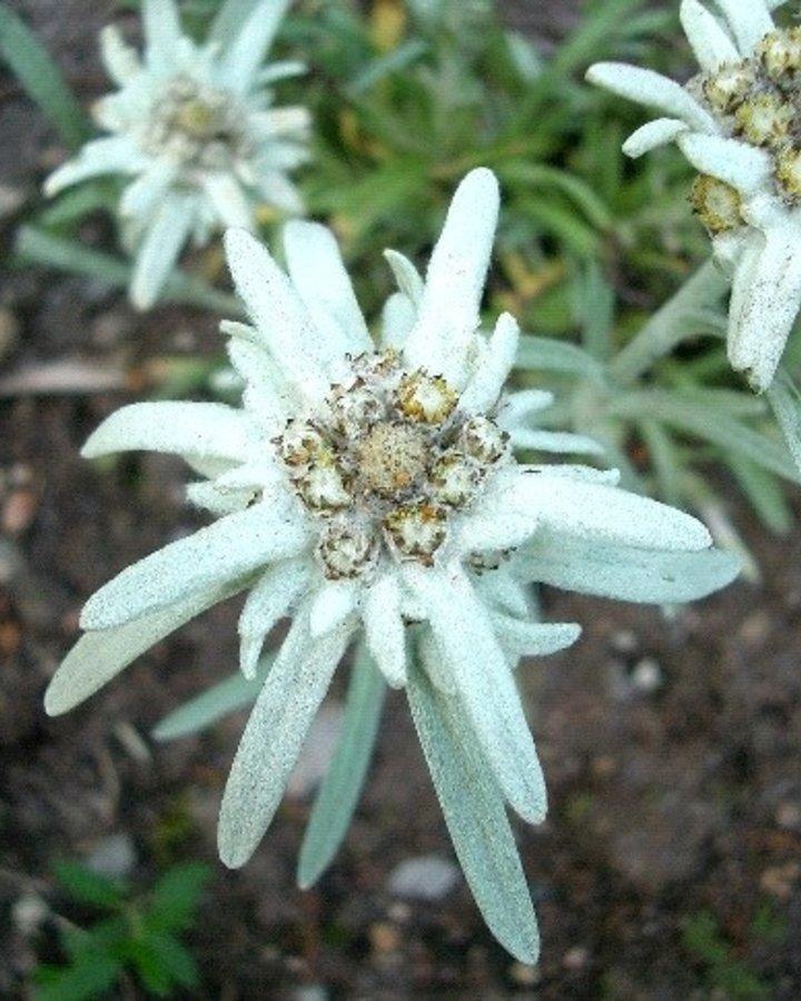 Leontopodium alpinum   Edelweis