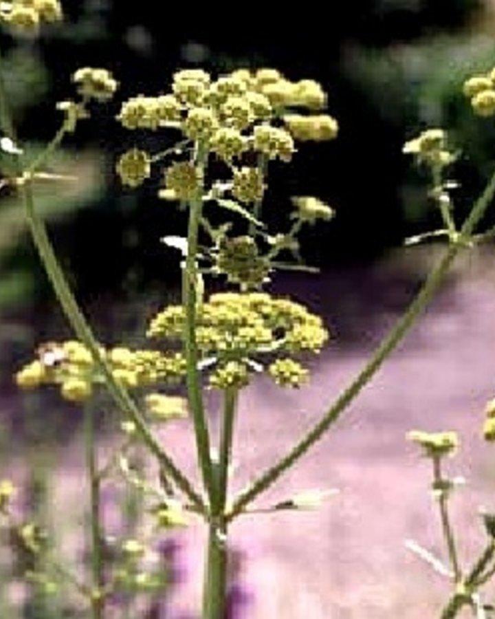 Levisticum officinale   Maggieplant
