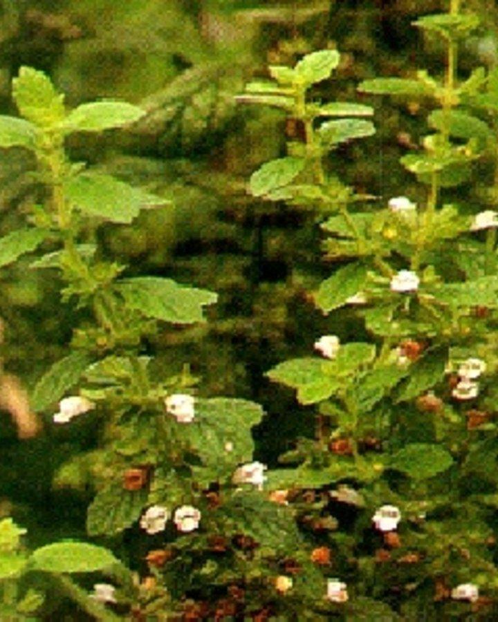 Melissa officinalis   Citroenmelisse    Vaste plant