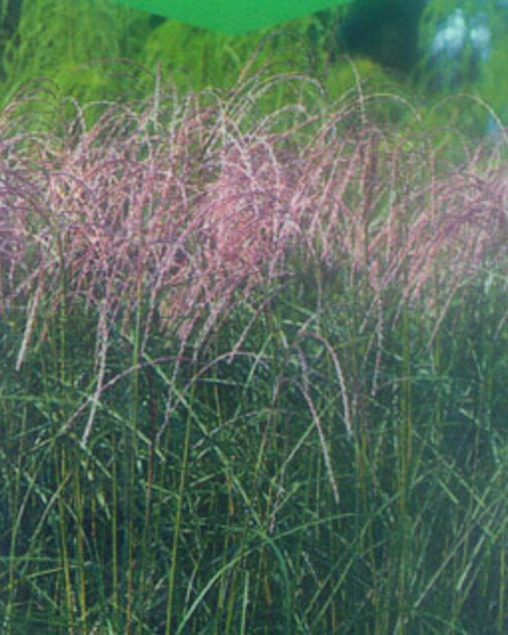 Miscanthus sin. 'Flamingo'   Chinees riet    Siergras