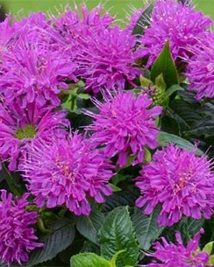 Monarda 'Pardon My Purple' | Bergamotplant