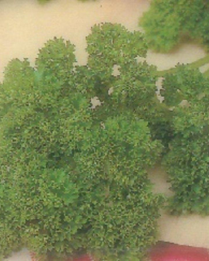 Petroselinum crispum / Krulpeterselie