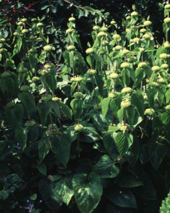 Phlomis tuberosa