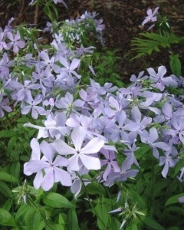 Phlox div. 'Clouds of Perfume' | Kruipphlox  | Vaste plant