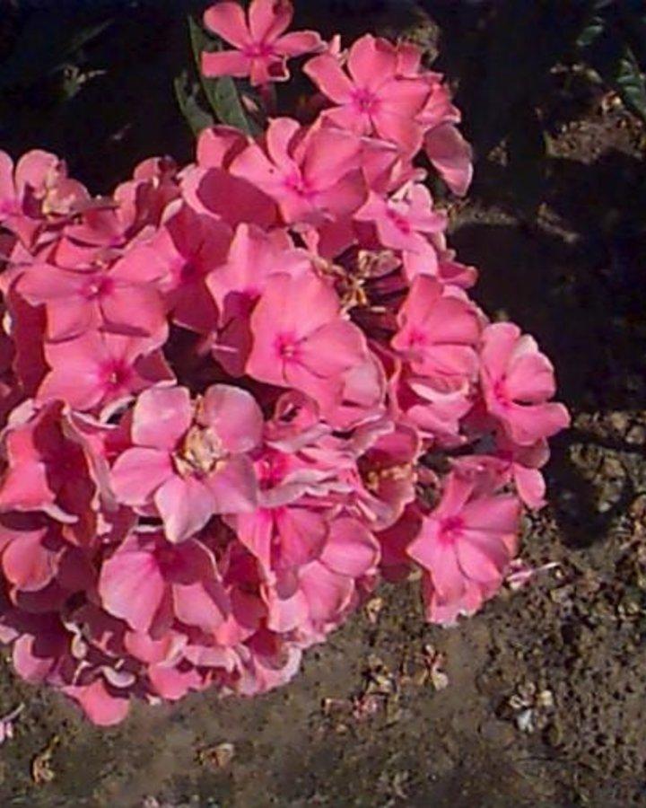 Phlox paniculata   Vlambloem   flox    Vaste plant