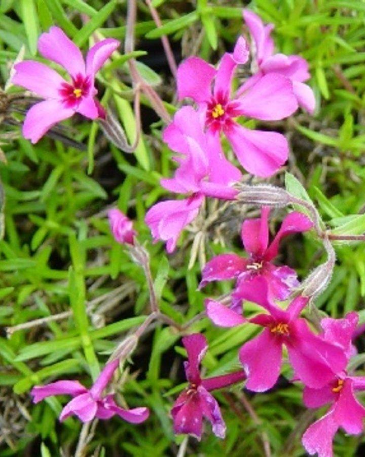 Phlox (S) 'Atropurpurea'   Borstelfloks    Vaste plant