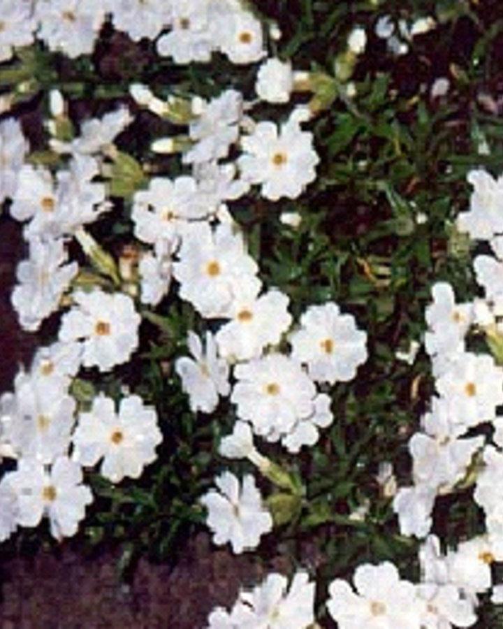 Phlox (S) 'Maischnee'   Vlambloem    Vaste plant