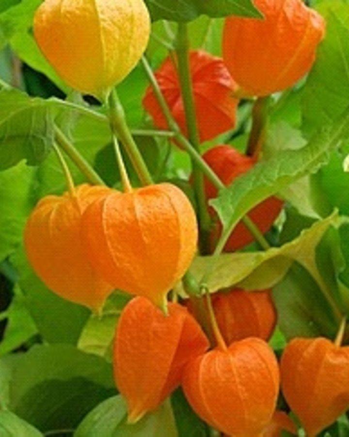 Physalis alkekengi franchetii | Lampionplant