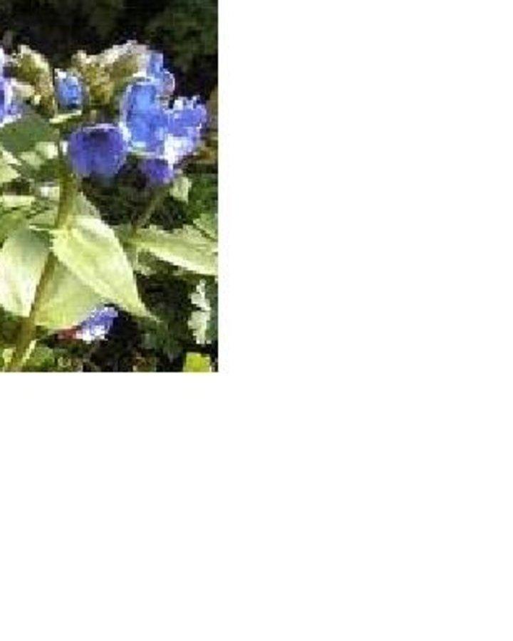 Pulmonaria angustifolia / Longkruid