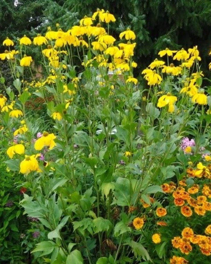 Rudbeckia nitida 'Herbstsonne' | Zonnehoed