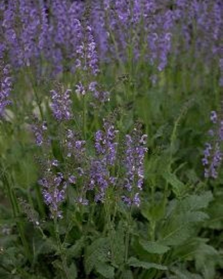 Salvia pratensis   veldsalie