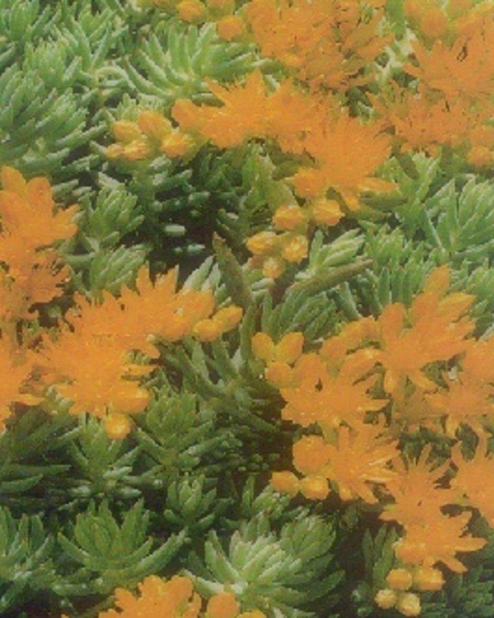 Sedum reflexum   Tripmadam    Vaste plant