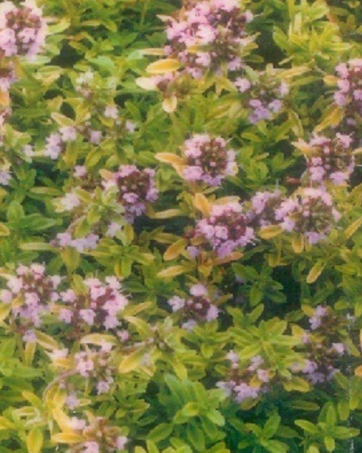 Thymus citriod. 'Aureus' | Geelbladerige Citroentijm  | Vaste plant