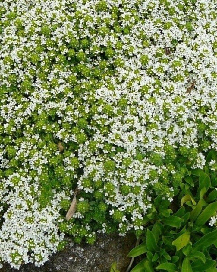 Thymus praecox 'Albiflorus' / Tijm